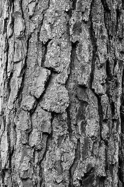 Black and white abstract fine art photograph of highly-textured pine tree bark in the woods of the American south