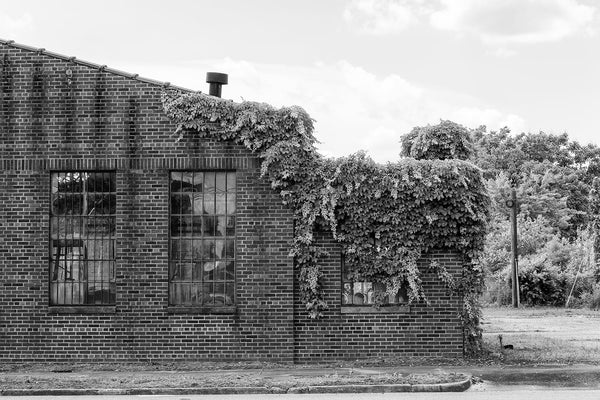 Black and white photograph of ivy on the red brick exterior of an old industrial building.