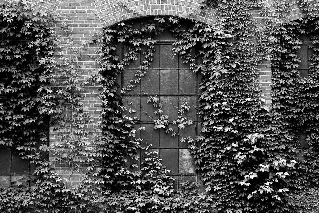 Black and white photograph of the brick exterior and ivy-covered windows of an old 1902 southern textile mill, now retired.