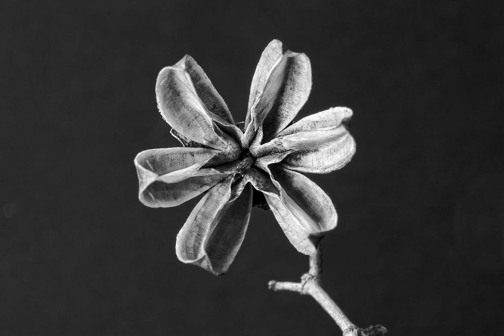 Black and white macro photograph of a tiny delicate, dried pod that looks like a six-pointed star. The pod is only about the diameter of an US dime.