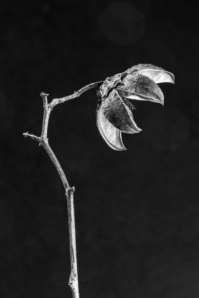 Black and white macro photograph of a tiny delicate, dried pod recently fallen from a tree.