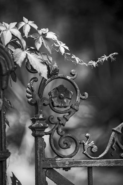 Black and white photograph of a decorative antique ironwork fence with climbing ivy.