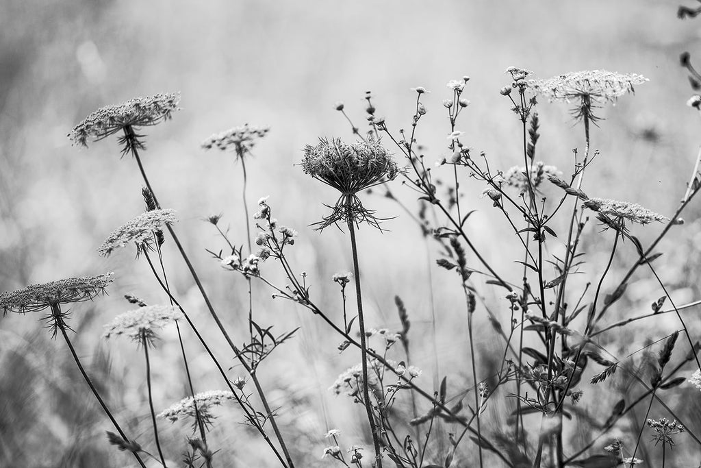 Black and white photograph of Queen Anne's Lace and wildflowers growing in a field on a sunny summer afternoon.