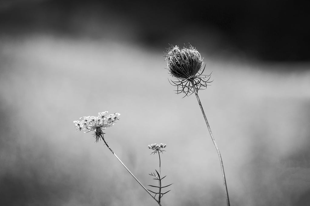 Black and white photograph of Queen Anne's Lace (Daucus Carota) in a rural pasture on a hot summer day.