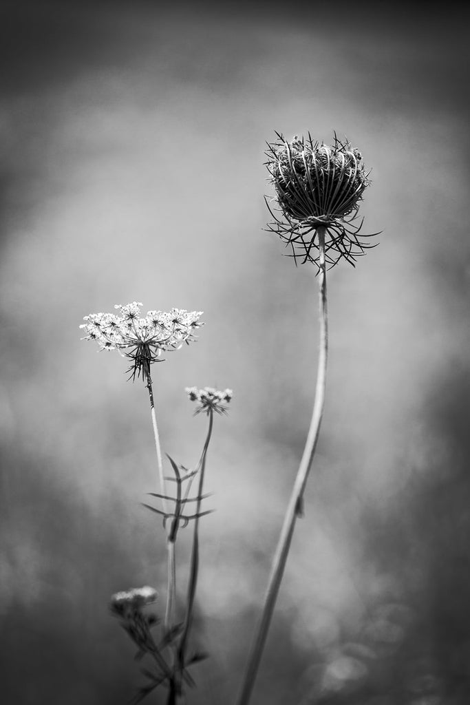 Black and white photograph, in vertical composition, of Queen Anne's Lace on a hot summer day. Queen Anne's Lace is also known as daucus carota, wild carrot, bird's nest, and bishop's lace.