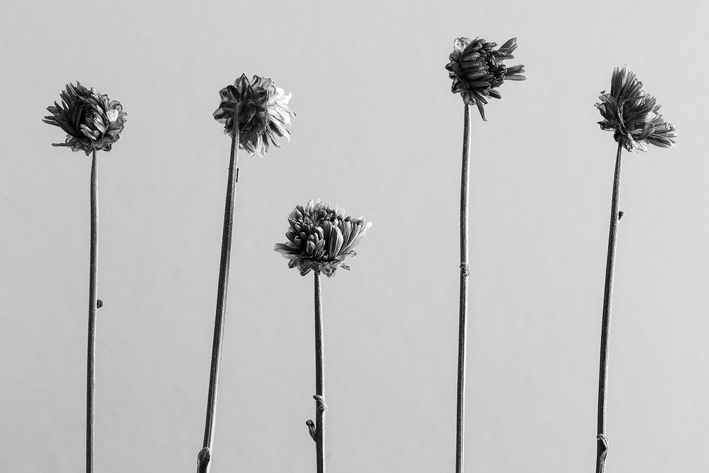 Black and white photograph of five small dried flower blooms on their long stems, arranged in a row