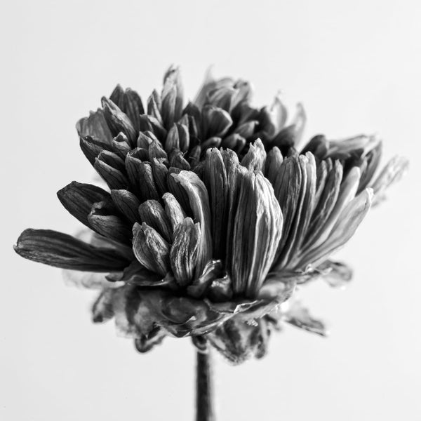 Black and white photographs of dead flowers keith dotson photography epic dried flower blossom black and white photograph square format a0031043 mightylinksfo