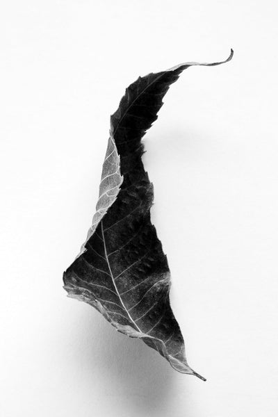 Black and white macro photograph of curled fallen Black Walnut leaf.