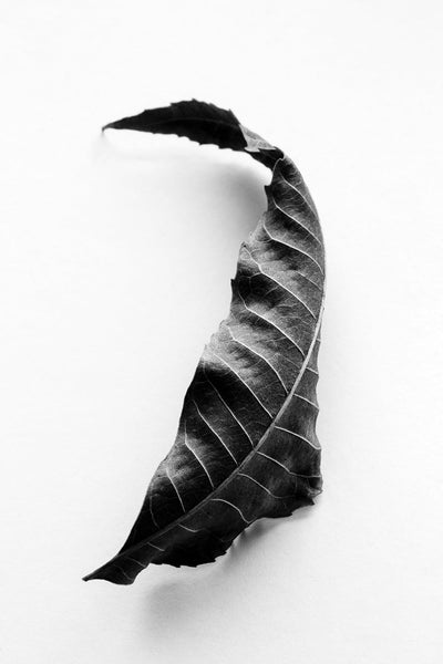 Black and white detailed photograph of dried, curly, fallen leaf from a Black Walnut tree.