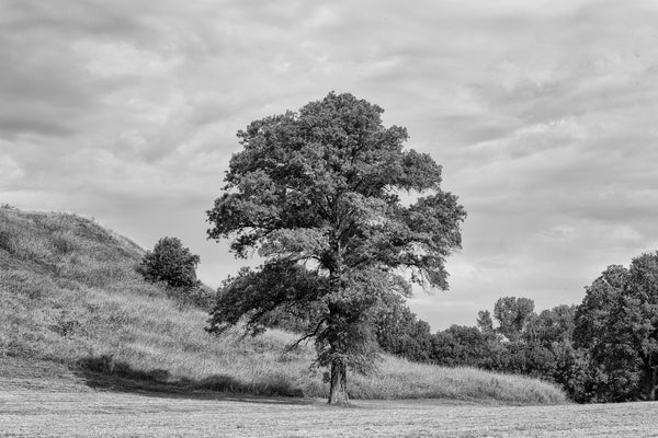 Black and white landscape photograph of a big, beautiful tree growing near the base of Monk's Mound at the ancient Cahokia Mound Site in Illinois. Monk's Mound was built of soil carried in baskets over 1,000 years ago. Cahokia, once the largest city in North America, is now a UNESCO World Heritage Site.