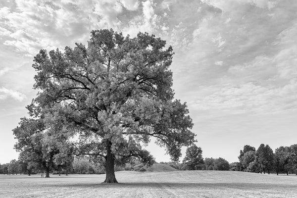 Black and white landscape photograph of a big, beautiful tree growing on the grounds at the ancient Cahokia Mound Site near St. Louis. In the background are several mounds built of soil carried in baskets by Native Americans over 1,000 years ago.