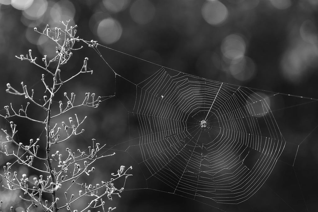 Black and white landscape photograph of autumn morning sunlight catching the threads of a spider web.
