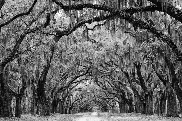Black and white landscape photograph of the beautiful Avenue of the Oaks at Wormsloe Plantation in Savannah, Georgia. The avenue, lined with over 400 mighty oaks, is a one-and-a-half mile driveway into what was once a coastal plantation, now in ruins.