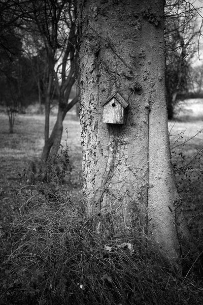 Black and white photograph of huge tree hosting a small, wooden birdhouse.