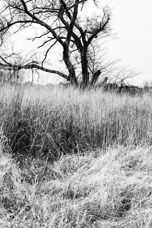 Black and white landscape photograph of a barren black winter tree standing amidst tall and tussled grasses.