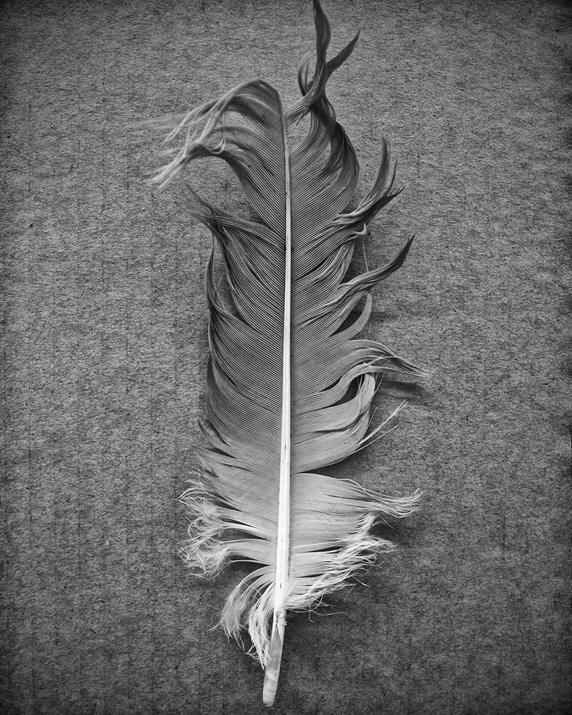 zen photograph of a feather. Quiet, peaceful, meditational black and white photograph of a goose feather photographed on a textured cardboard background.