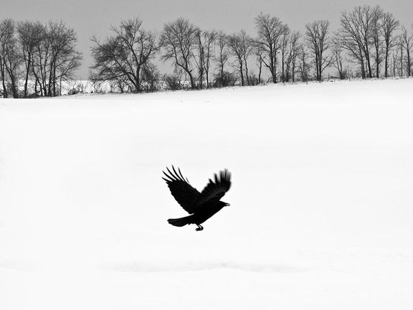Black and white landscape photograph of a blackbird flying away from a snow-covered field