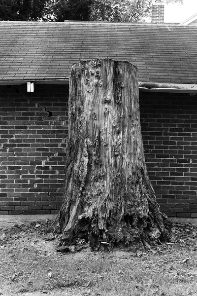 Black and white photograph of a giant tree stump pressed against the back of an old brick house.
