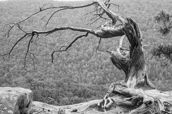 Black and white photograph of a twisted old tree growing from the edge of a high cliff, overlooking a scenic valley.