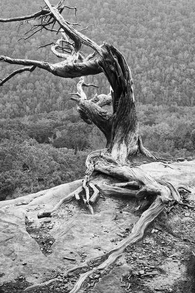 Gnarly Old Tree on a Cliff's Edge: Black and White Landscape Photograph
