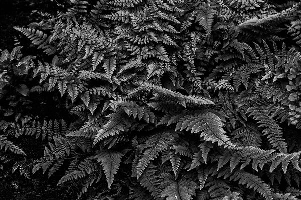 Black and white photograph of green ferns in the low, soft light of the forest floor.