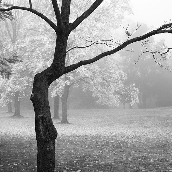 Black and white landscape photograph of a black tree on a foggy autumn morning. (Square format)
