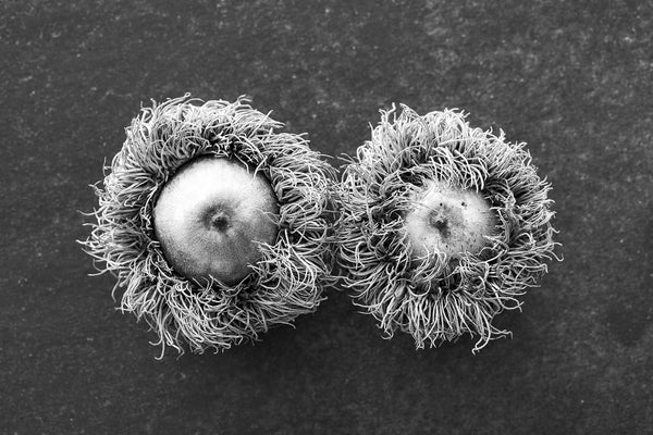 Black and white photograph detail study of two big, fuzzy acorns from a bur oak tree.
