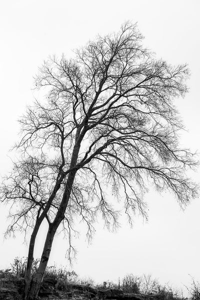 Black and white landscape photograph of a beautifully bare tree, it's intricate branches silhouetted in black against the white winter sky.