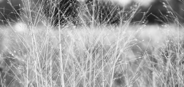 Black and white wide format photograph of winter grasses blowing in the winter wind, creating an ethereal, dreamy effect