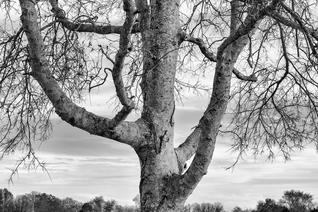 Black and white photograph of a big old tree standing tall and proud against a chilly winter sky