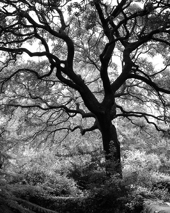 Black and white photograph of a big, beautiful tree in an urban park, overlooking the San Antonio Riverwalk.