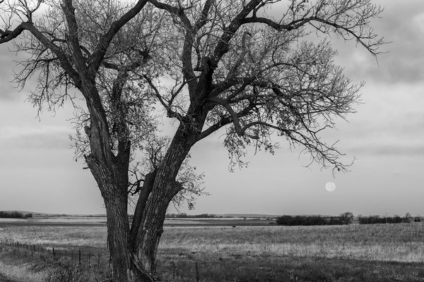 Black and white fine art photograph of the American prairie landscape featuring a big tree at sunrise with a pink moon setting on the far horizon.