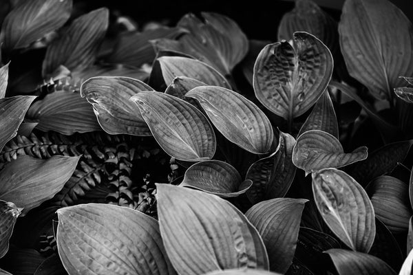 Black and white detail photograph of beautiful hosta leaves in a shady summer garden.