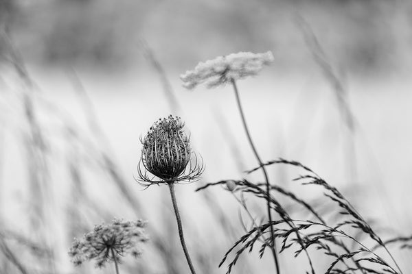 Black and white photograph of Queen Anne's Lace growing in a summertime meadow.