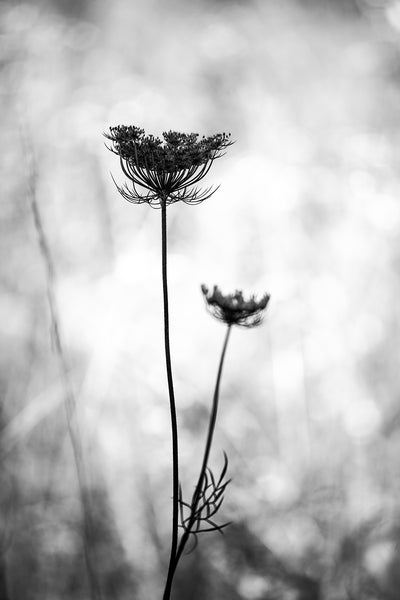 Black and white landscape photograph of a stem of Queen Anne's Lace growing in a sunlit summer meadow.