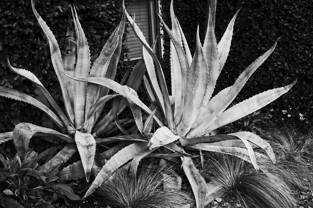 Black and white fine art photograph of two big succulents on South Congress outside the Hotel San Jose, in Austin, Texas.