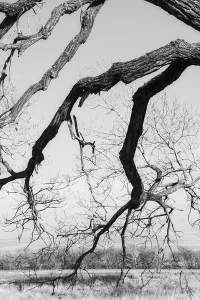 Black and white fine art photograph of the gnarly curved branches of an old cottonwood tree on the great wide American prairie.