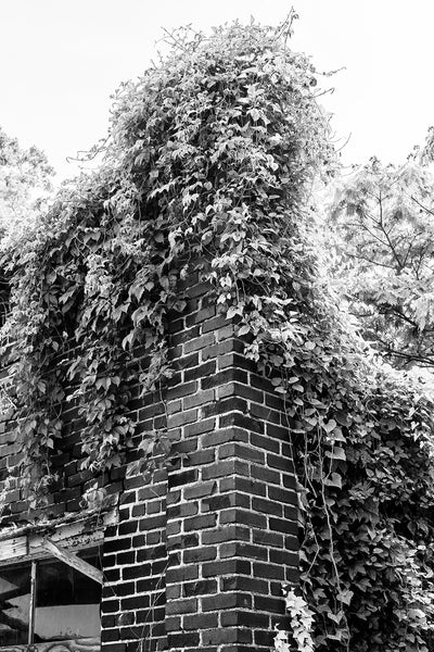 Black and white photograph of the old red bricks of an abandoned building being overtaken by ivy.