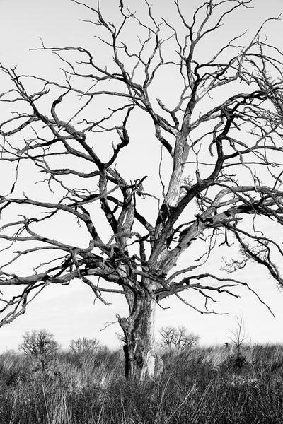 Black and white photograph of a big barren tree with winding branches amidst the tall grass of the prairie.