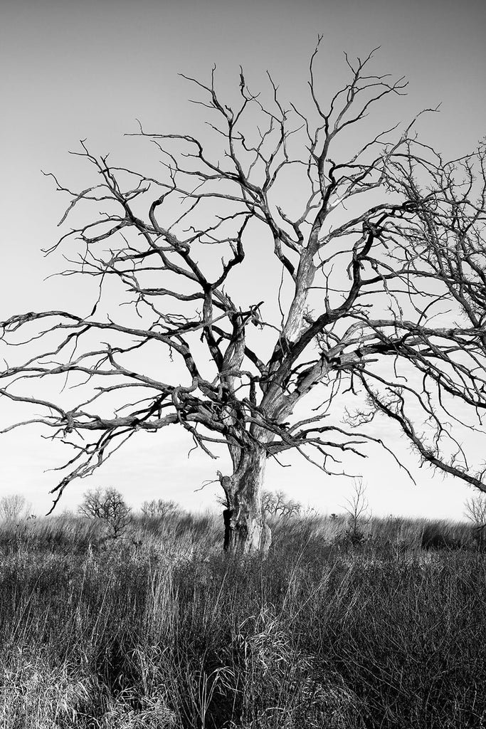 Black and white photograph of a tall barren tree standing amidst the tall grass of the American prairie.