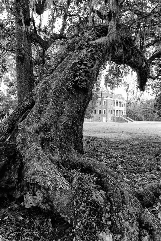 Black and white photograph of a huge leaning oak tree at Drayton Hall, South Carolina. Drayton Hall was built about 1740, and is the only South Carolina plantation home to survive the Revolutionary War and the Civil War intact. The house is now held in a state of preservation, maintained but not restored, which means that original paint, woodwork, and carved ceilings can still be seen.
