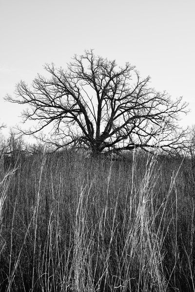 Black and white fine art photograph of a barren black tree in winter standing amid tall grass on the American prairie.