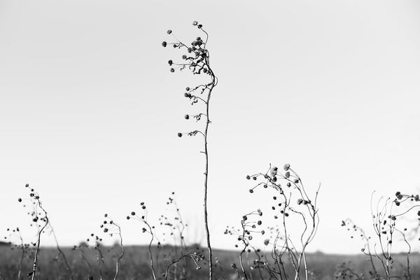 Black and white fine art photograph of whimsical long-stemmed winter grasses growing above the horizon of the American prairie.
