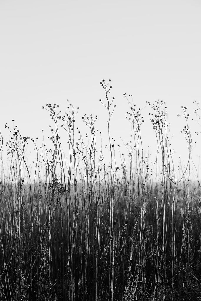 Black and white fine art photograph of a tall winter grasses growing toward the deep blue sky of the American prairie.
