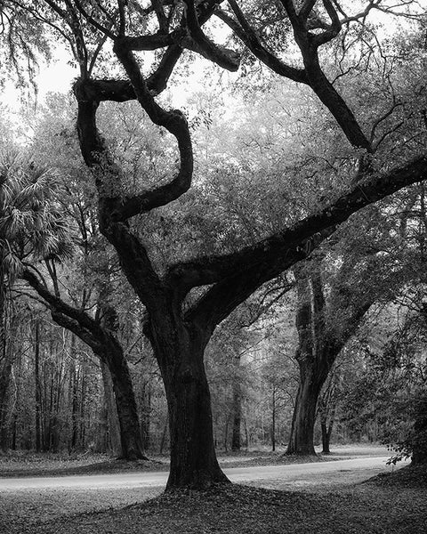 Black and white landscape photograph of huge trees in the woods near the Ashley River, in the Low Country near Charleston, South Carolina.