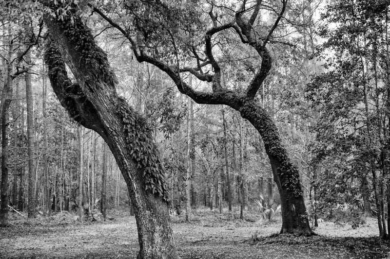 Black and white landscape photograph of two big trees with ferns growing from their trunks, in the woods near the Ashley River in the Low Country near Charleston, South Carolina.