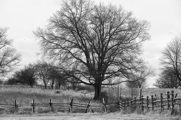 Black and white landscape photograph of rolling hills with a big dark tree behind a split rail fence.