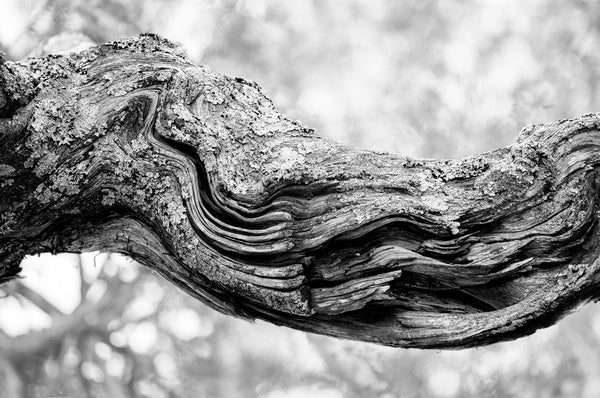 Black and white photograph of the swirling and curving woodgrain of an old tree branch that looks like a river flowing.