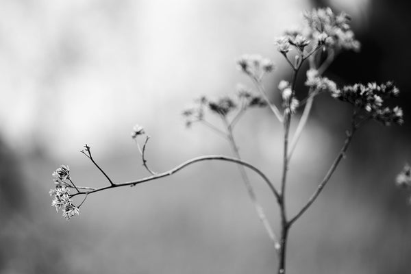 Black and white minimalist landscape photograph of a tall plant stem in winter that's selectively focused only on a branch of dried buds with the background blurred.