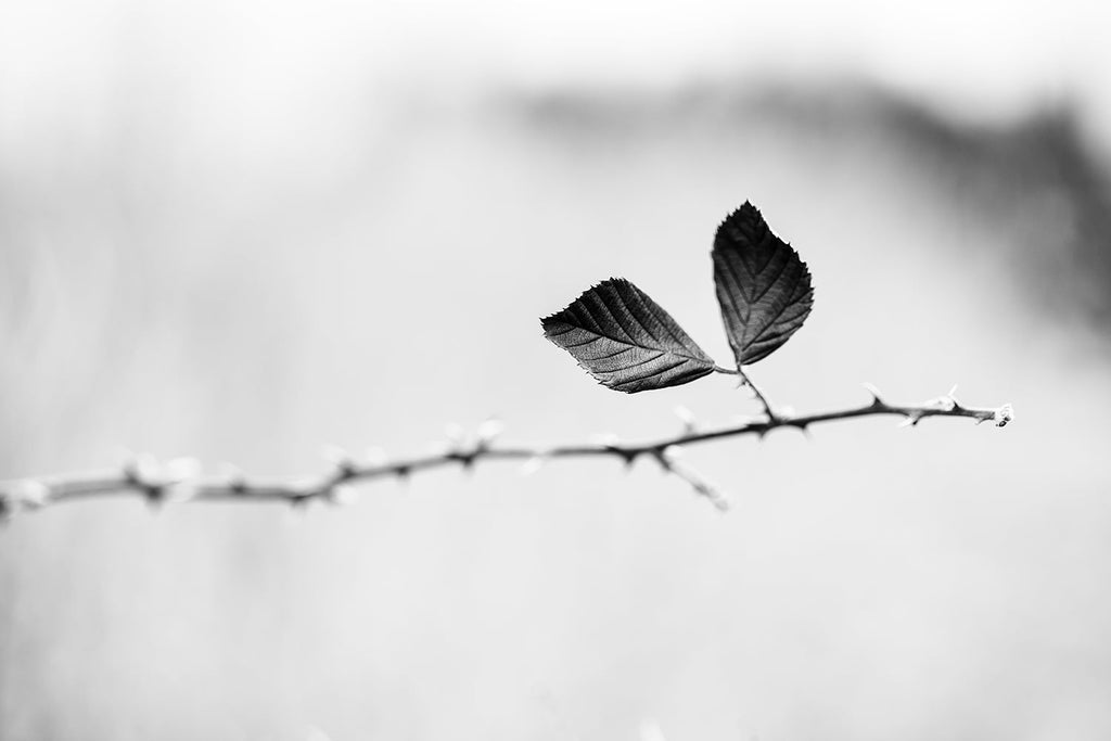 Black and white minimalist landscape photograph of a single briar stem with two leaves in the winter landscape.